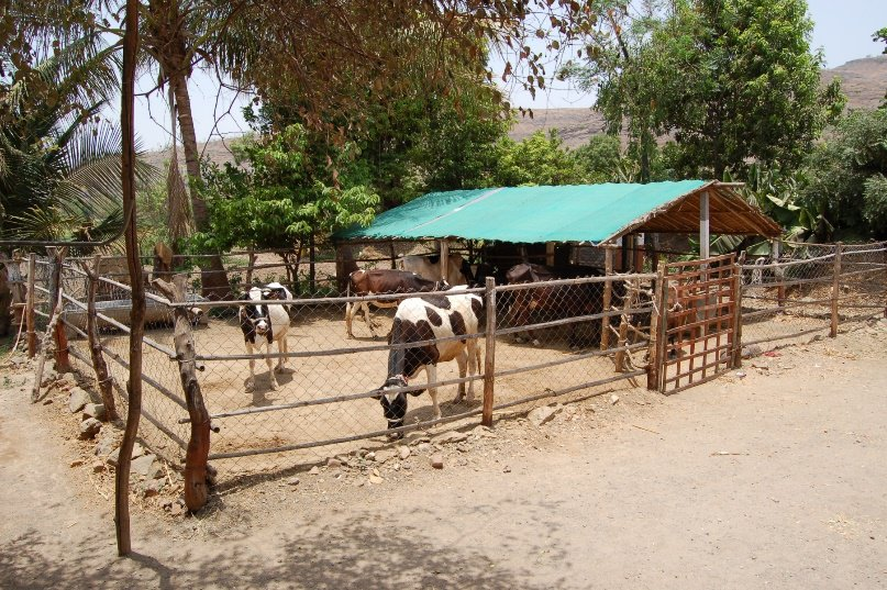 Heat Stress in Cows