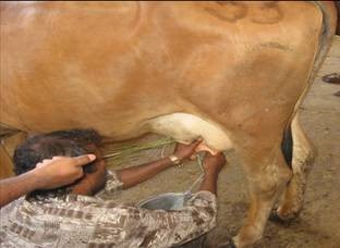 Effect of Presence of Calf While Milking in Zebu and Exotic Crossbreds Cows