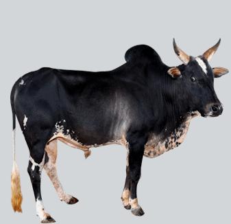 Umblachery cattle