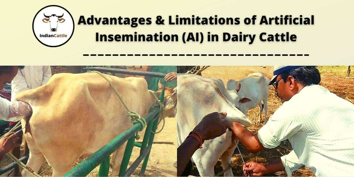 Artificial Insemination of Cattle