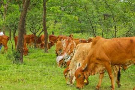Cow Welfare