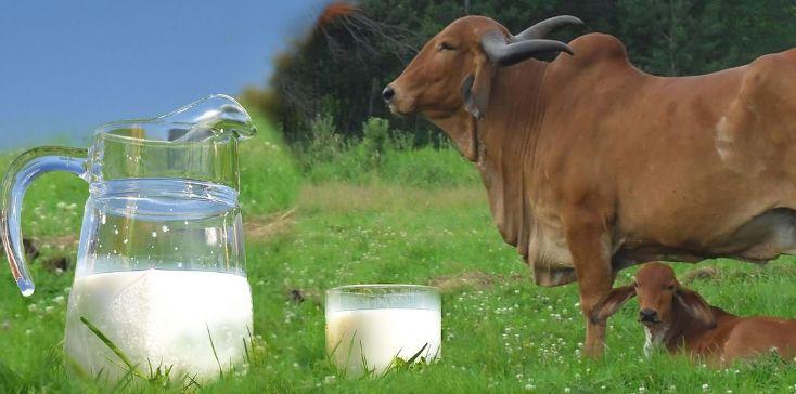 dairy farming, cow dairy farming