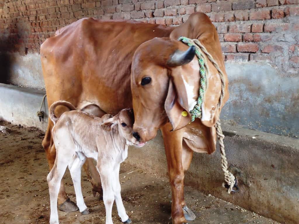 milk yield of dairy cows