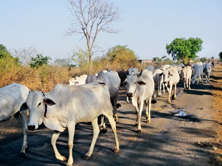 Indian dairy cattle