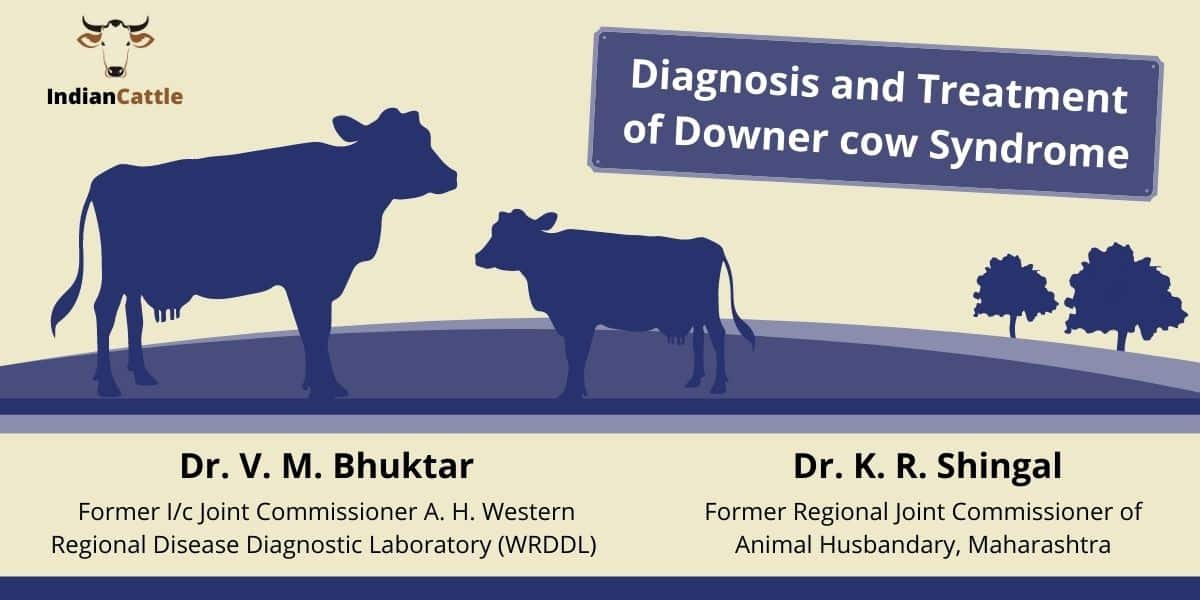 downer cow syndrome