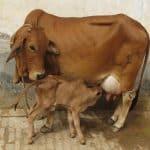 newborn calf care management