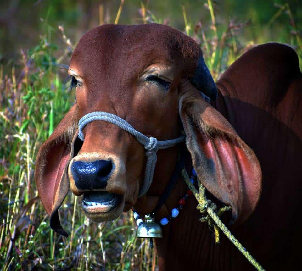 Beautiful Gir Cow