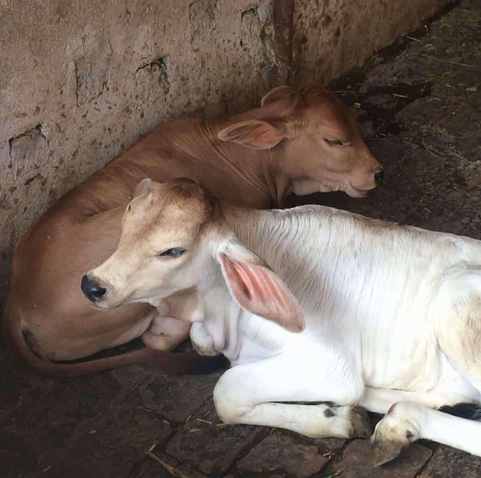 Beautiful Calves