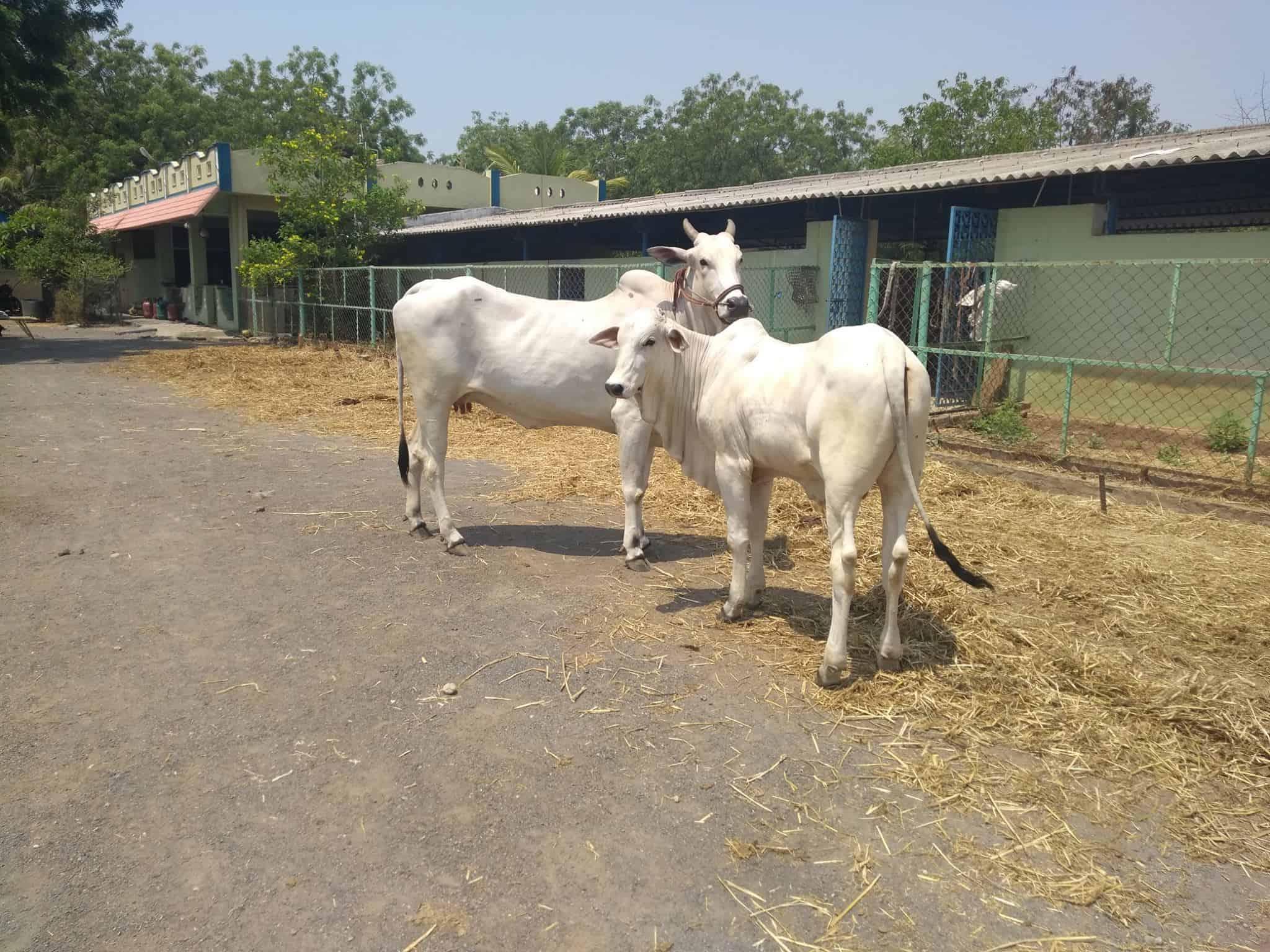 Cute Pair of White Cow