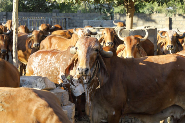 Energy Requirements in Dairy Cow