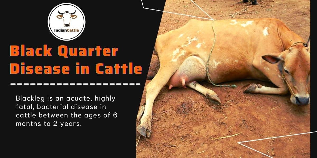 Black Quarter Disease in Cattle