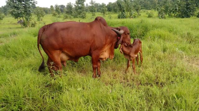 Cow Farm 3