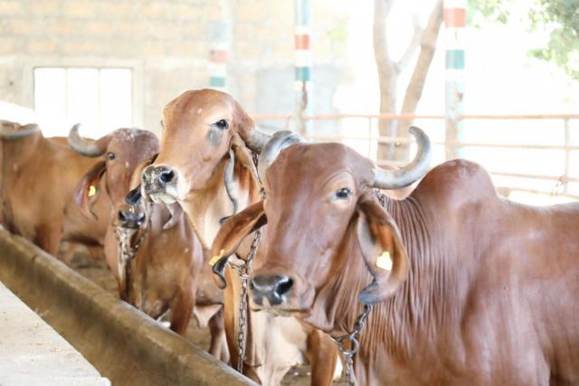 Cow Farm 8