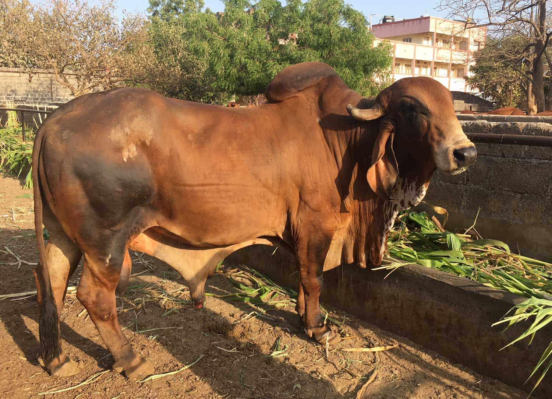 Cow Farm 9