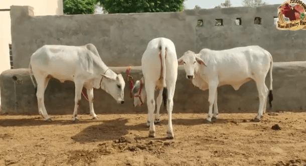 https://indiancattle.com/gowbazaar/tharparkar-calf-sale-in-ganganagar/