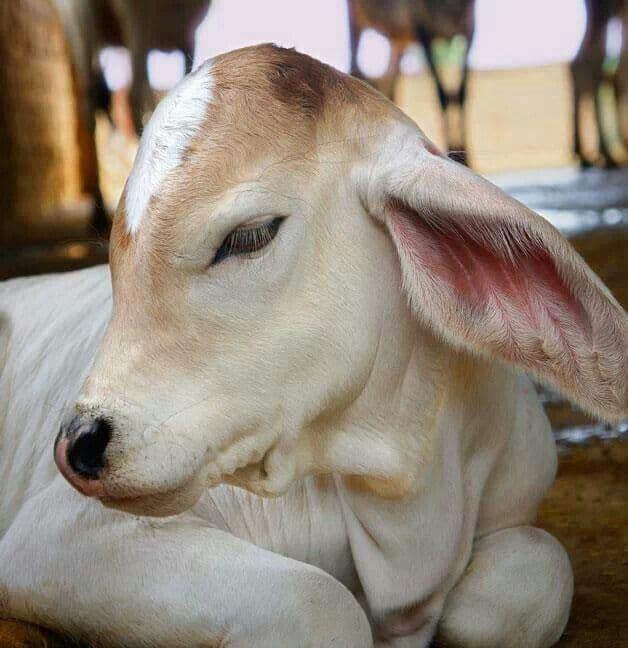 indian white calf