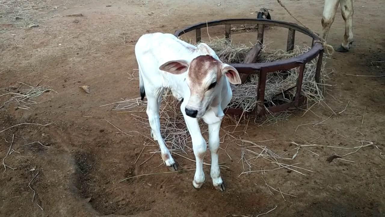 Beautiful Calf