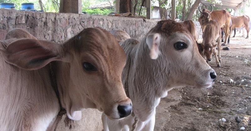 tapovan_cows
