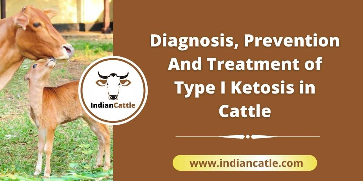 Treatment for Ketosis in Cattle