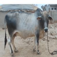 desi cow price