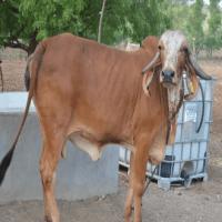 Gir cow price