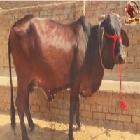 rathi cow price
