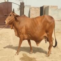 sahiwal cow image