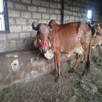 gir cow sale price
