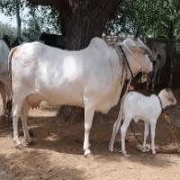 tharparkar cow image