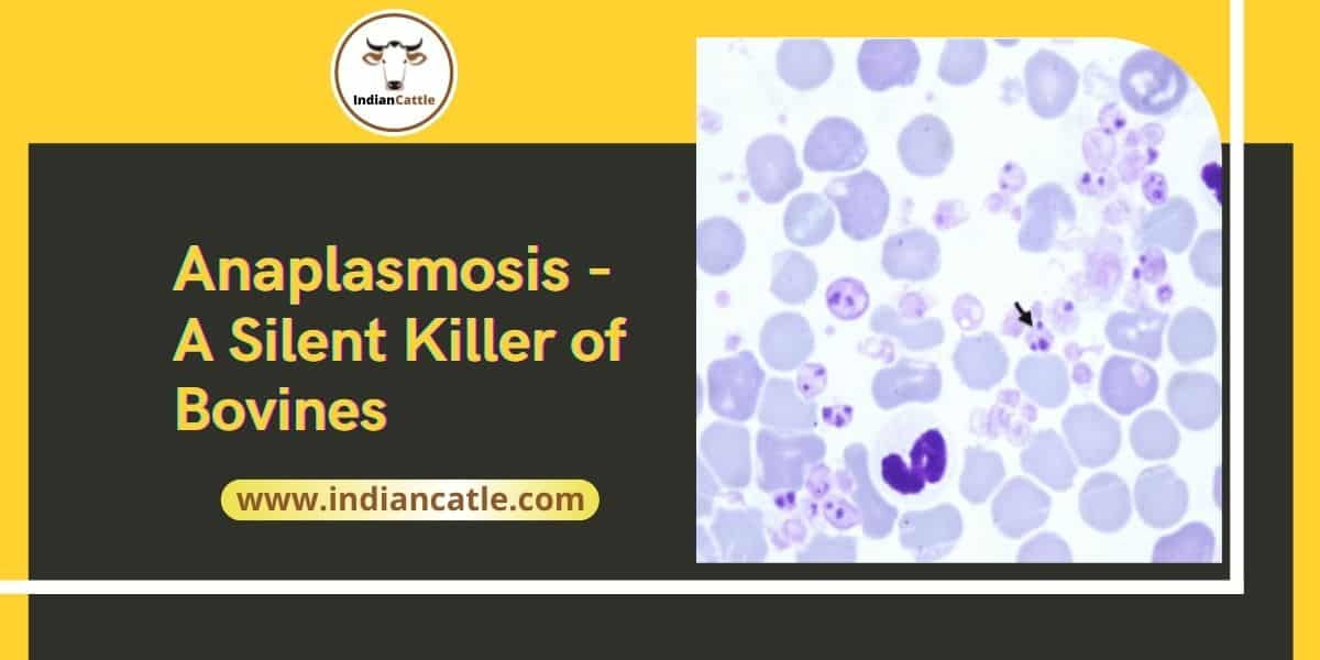 Treatment for anaplasmosis in cattle
