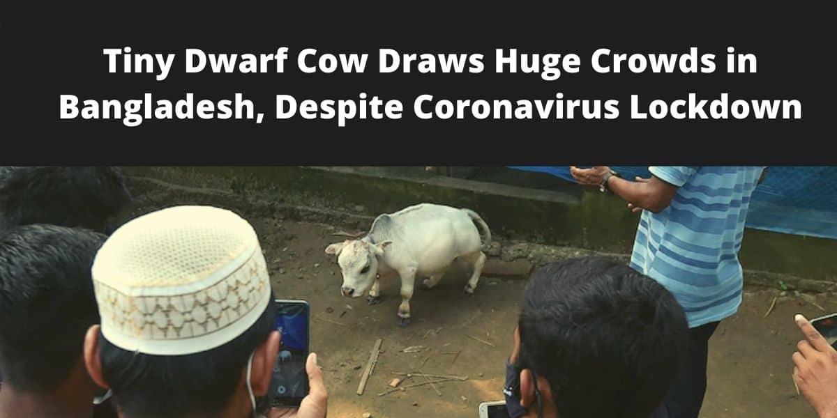 Dwarf Cow