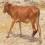 Sahiwal Calf