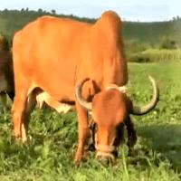 gir cow ghee benefit