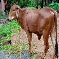 gir heifer price