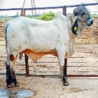 liladi bull price