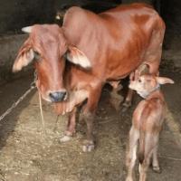 price of sahiwal cow