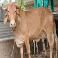 swarnkapila cow sale pricee