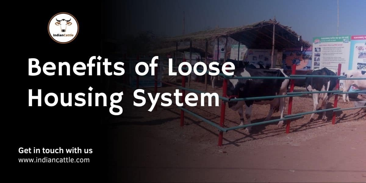 Benefits of Loose Housing System