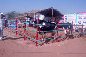 गाईचा आराम Cow comfort