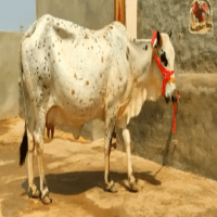 cholisthani cow price