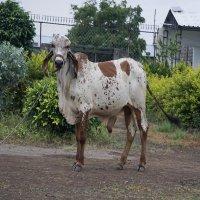 gir bull sale price in gujarat