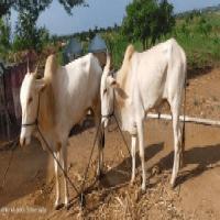 khillar bulls image