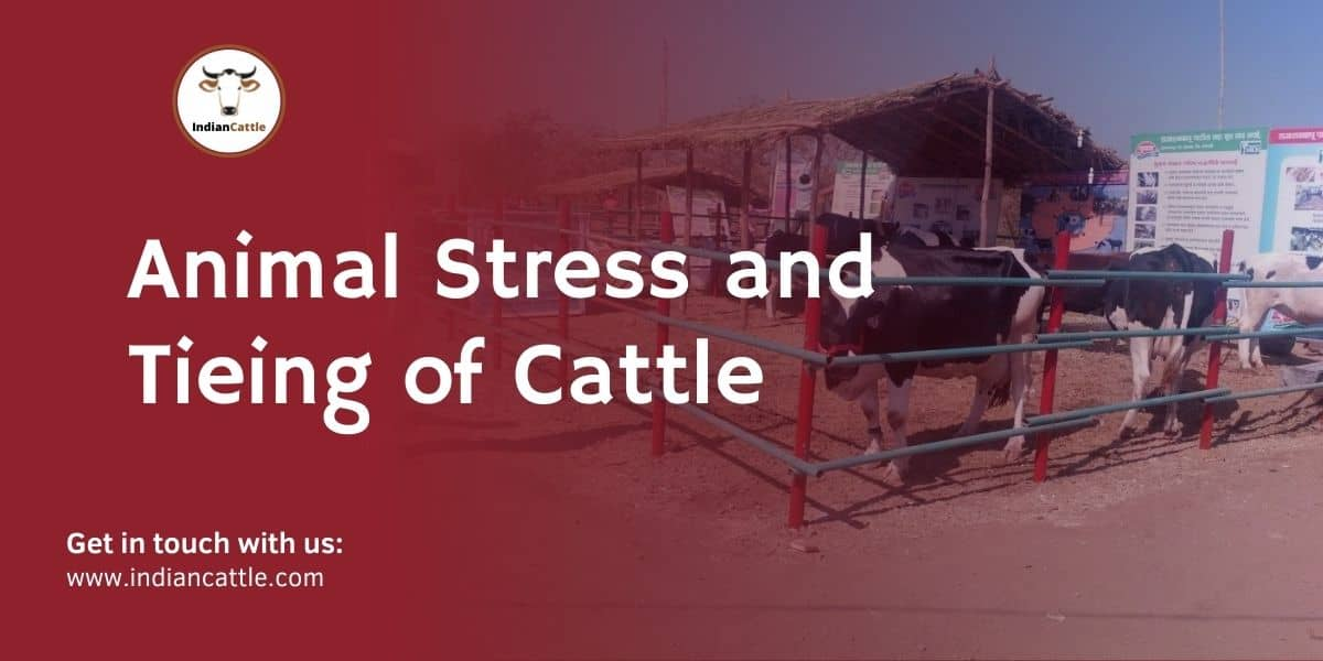 Animal Stress and Tieing of Cattle