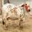 Cholisthani Cow