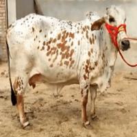 price of cholisthani cow