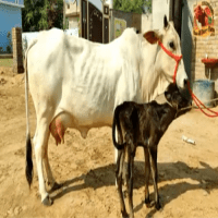 price of desi cow