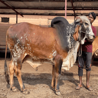 gir bull price