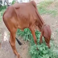 cost of gir calf