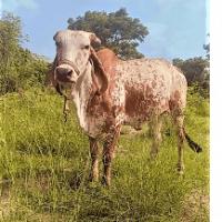 kabri cow cost