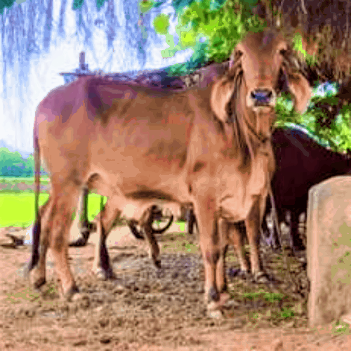 price of gir cow